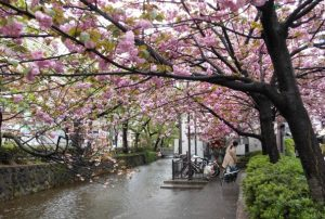 Les cerisiers du Japon fleurissent dans les rues de Kyoto, par-dessus un cours d'eau
