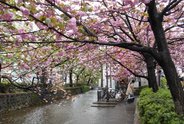 Les cerisiers du Japon fleurissent dans les rues de Kyoto par dessus un cours d'eau