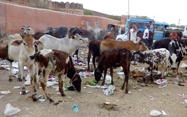 Des animaux parmi les détritus dans un village indien